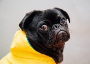 Sad dog in a raincoat doesn't want to make a budget